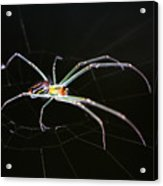 Orchard Orbweaver Spider Acrylic Print