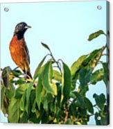 Orchard Oriole Songbird Perched On A Bush Acrylic Print