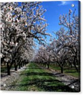 Orchard Trees Blossoming Acrylic Print