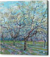 Orchard With Blossoming Plum Trees   Acrylic Print