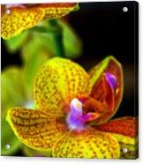 Orchid-0022 Acrylic Print