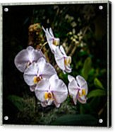 Orchid 1 Triptych Acrylic Print