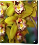 Orchid 11 Acrylic Print