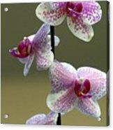 Orchid 16 Acrylic Print