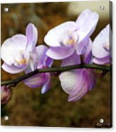 Orchid 18 Acrylic Print