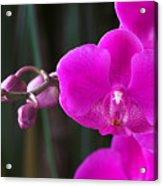 Orchid 18 Acrylic Print