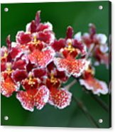 Orchid 31 Acrylic Print
