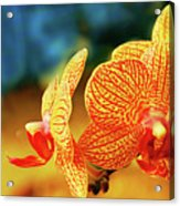 Orchid 9 Acrylic Print by Chaza Abou El Khair
