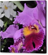 orchid 942 Purple Brassolaeliocattleya  Acrylic Print