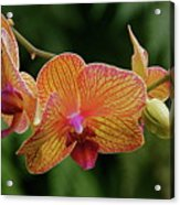 Orchid Aliveness Acrylic Print