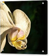 Orchid Bloom Acrylic Print