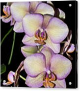 Orchid Blossoms I Acrylic Print