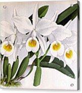 Orchid, C. Eldorado Virginalis, 1891 Acrylic Print