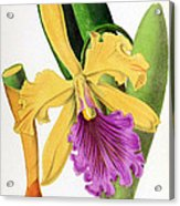 Orchid, Cattleya Dowiana, 1880 Acrylic Print