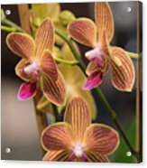 Orchid Chingruey's Goldstaff Acrylic Print