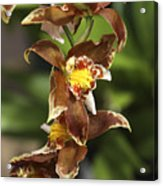 Orchid Curve Acrylic Print