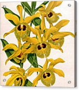 Orchid, Dendrobium Chrysotis, 1891 Acrylic Print
