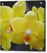 Orchid Family Acrylic Print