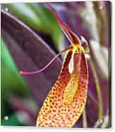 Orchid Flower - Restrepia Radulifera Acrylic Print