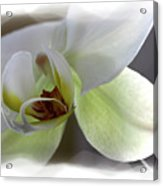 Orchid for Valentines Day Acrylic Print