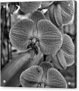 Orchid Glory Black And White Acrylic Print