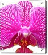 Orchid I Pretty Acrylic Print
