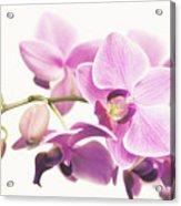 orchid II Acrylic Print