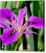 Orchid Iris Acrylic Print