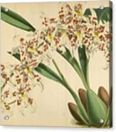 Orchid Odontoglossum Andersonianum Grenada  Acrylic Print