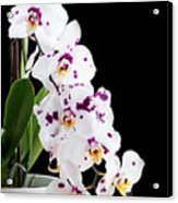 Orchid Phalaenopsis White Flower Acrylic Print