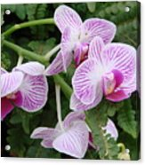 Orchid Pink Acrylic Print