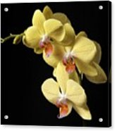 Orchid Set Against Black. Acrylic Print