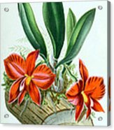 Orchid, Sophronitis Grandiflora, 1880 Acrylic Print