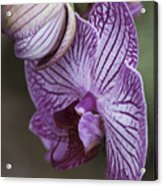 Orchid Strips Acrylic Print
