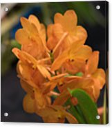 Orchid Yip Sum Wah Orange Acrylic Print