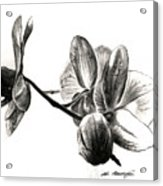 Orchids In Black Acrylic Print