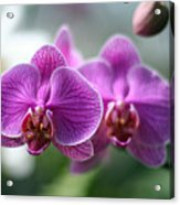 Orchids In Flight Acrylic Print