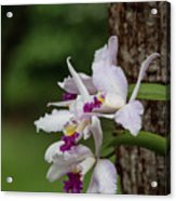 Orchids On A Tree Acrylic Print