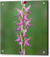 Orchis Sancta Acrylic Print