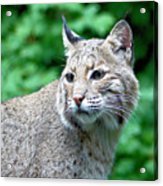 Oregon Bobcat Acrylic Print by Nick Gustafson