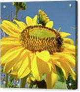 Oregon Gardens Silverton Sunflower Honeybee Baslee  Acrylic Print