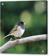 Oregon Junco Acrylic Print
