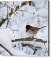 Oregon Junko In Snow Acrylic Print