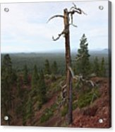 Oregon Landscape - Confused Tree At Lava Butte Acrylic Print