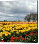 Oregon Tulip Fields 2 Photograph Acrylic Print