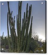 Organ Pipe Cactus At Sunset Acrylic Print