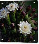Organ Pipe Cactus Flowers  Acrylic Print
