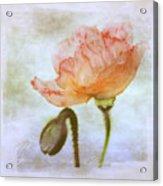 Oriental Poppy And Bud Acrylic Print