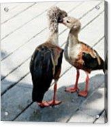 Orinoco Geese Touching Heads On A Boardwalk Acrylic Print
