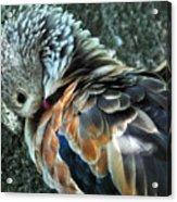 Orinoco Goose  Acrylic Print